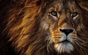 close-up-photo-of-lion-s-head